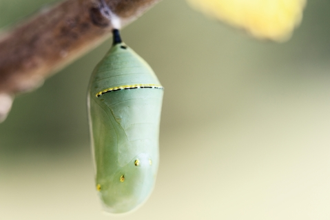Monarch Butterfly Crysalis